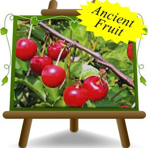 Montmorency-Cherry-Tree-(Eng)-min