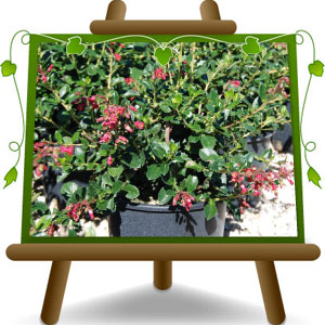 Escallonia Rubra Macrantha Out Of Stock