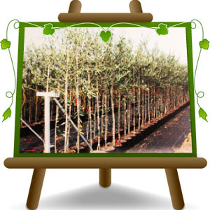 Cipressino olive tree euro plants vivai for Pruning olive trees in pots