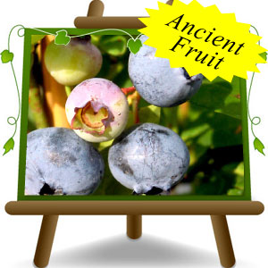 American-Blueberry-Elliot---Ancient-Fruit