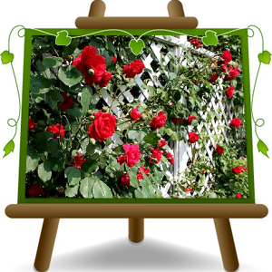 climbing-rose-fragrant-red-small-flower